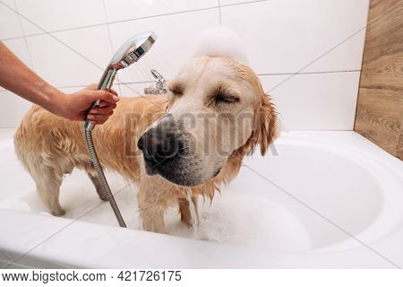 Adorable golden retriever dog taking bath at home. Hand of owner holding shower and cleaning funny doggy pet. Lovely labrador during showering with shampoo