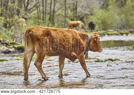 Young Brown Cow Crossing A River. Cattle And Livestock. Farmland