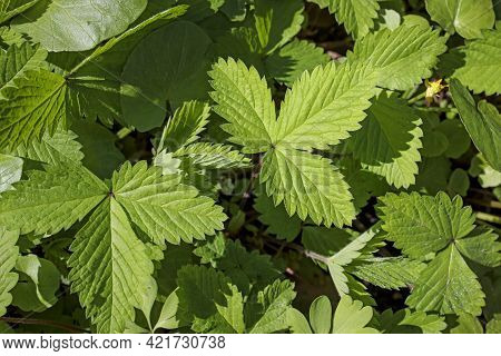 Potentilla Indica Known Commonly As Mock Strawberry, Indian-strawberry, Or False Strawberry, Is A Fl