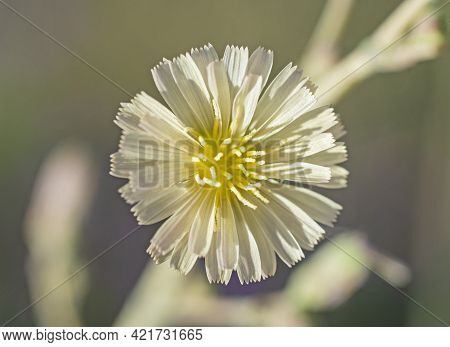 Close-up Detail Of A White And Yellow Daisy Flower Petals And Stigma In Garden