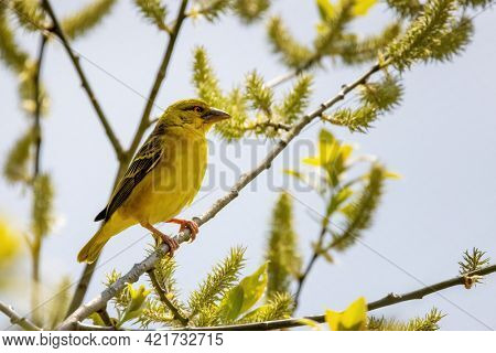 Female black-headed weaver bird, ploceus melanocephalus, perched in a tree, with summer blue sky background.