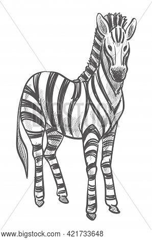 Zebra Animal, Wildlife Mammal With Stripes On Fur