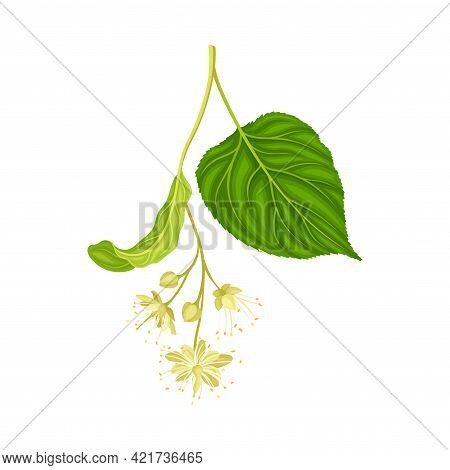 Linden Or Tilia Specie With Pale Green Leaves And Fragrant Yellowish-white Flowers Closeup Vector Il