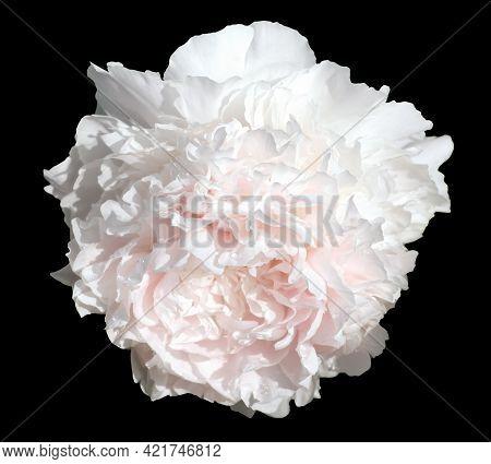 White  Peony Flower Isolated On Black Background