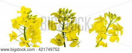 Canola Flower Isolated. Yellow Rape Flowers For Healthy Food Oil On Field. Rapeseed Plant, Canola Ra