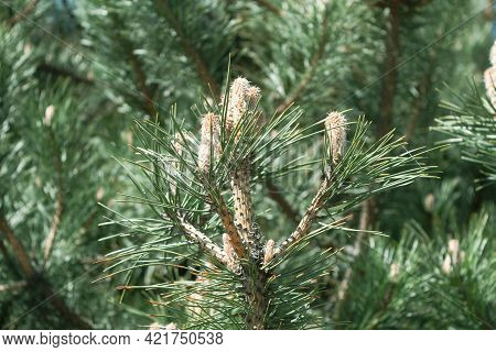 Young Inflorescence On A Pine Branch In The Spring. Inflorescence Of A Fluffy Sprout And Cones On Pi