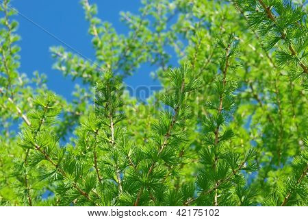 Young Branches Of  European Larch In Spring.