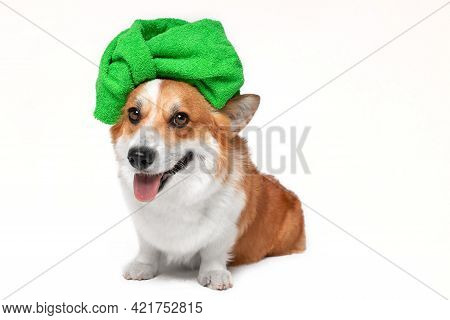 Adorable Welsh Corgi Pembroke Dog With Green Towel Wrapped Around Head Like Turban Sits After Shower