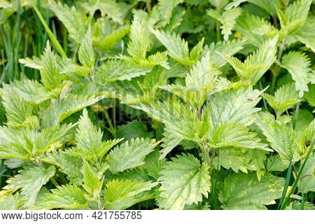 Thicket Of Fresh Green Nettle Leaves. Selective Focus, Close-up, Copy Space.
