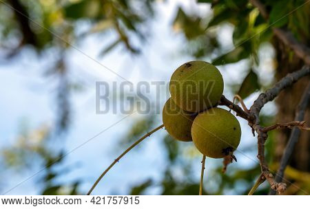 Three Green Walnuts In A Cluster Hang On A Tree In Southwest Missouri Against A Defocused Blue Sky B
