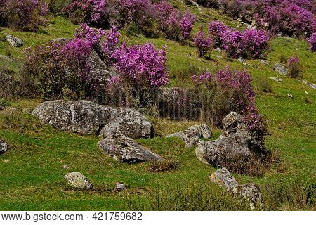 Russia. The South Of Western Siberia, Spring Flowers Of The Altai Mountains. Rhododendron. Its Flowe