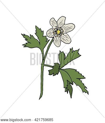 Forest Anemone Flower Isolated On A White Background. White Beautiful Flower. Hand-drawn Botanical V