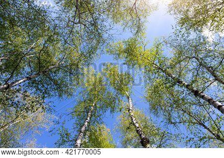 Bottom Upward View Of Beautiful Lush Fresh Green Birch Tree Forest Canopy Treetop And Bright Colorfu