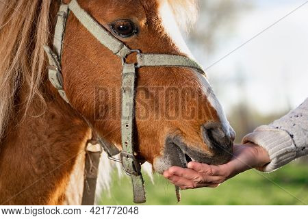 Female Hand Feeds A Pony Horse From Her Hand Outdoors