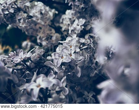 Beautiful Lilac Blossom. Spring Background With Soft Focus.