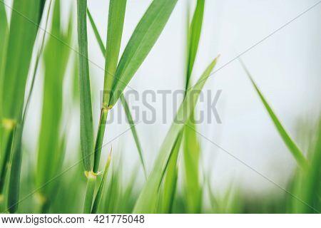 Texture Of Green Grass. Natural Summer Background.
