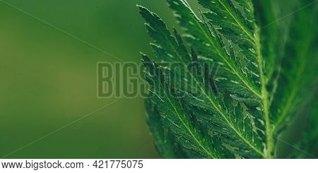 Texture Of Green Leaves. Natural Summer Background.
