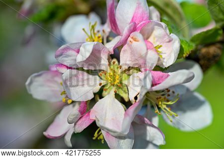 Apple Tree With Pink And White Flowers