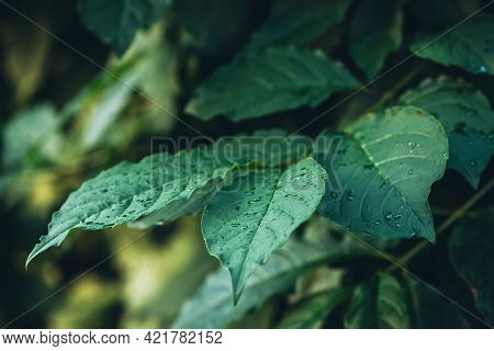 Vivid Minimalist Nature Background With Dew Drops On Green Leaves Close Up. Beautiful Green Minimal