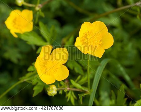 Close-up Of Ranunculus Repens, The Creeping Buttercup, Is A Flowering Plant In The Buttercup Family