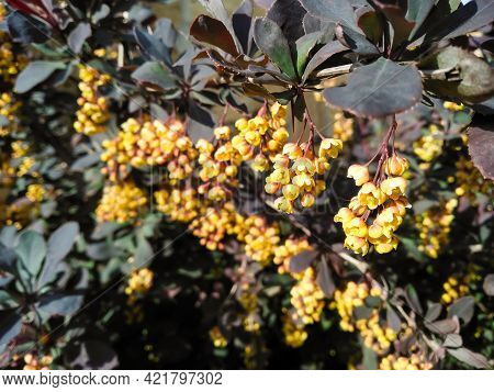 Thunberg Barberry With Red Leaves And Yellow Flowers. Flowering Barberry Bush In Spring. Growing Orn