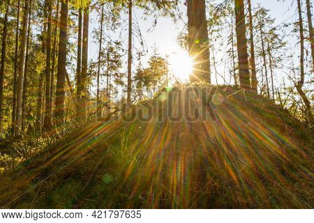An Anthill In The Forest With Bright Rays Of The Spring Sun. The Beauty Of A Spring Forest On A Sunn