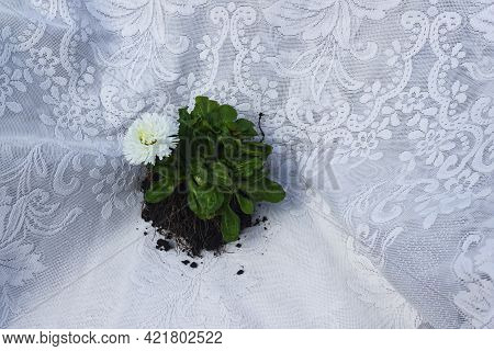 A Small White Elegant Flower With A Root And A Clod Of Earth Stands Against The Background Of Openwo