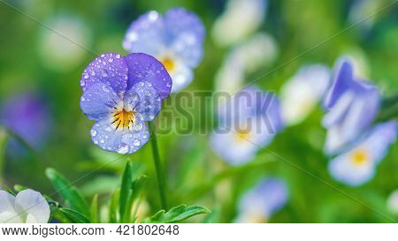 Field Pansy Flowers In Dewdrops, Wild Violet Closeup