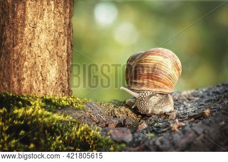 Grape Snail (helix Pomatia) Close-up, With A Uniform Blurred Green Background. The Burgundy Or Edibl