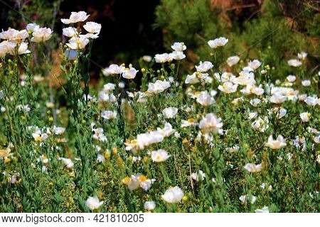 White Poppy Plant Flower Blossoms During Spring On A Lush Field Taken At A Chaparral Woodland In The