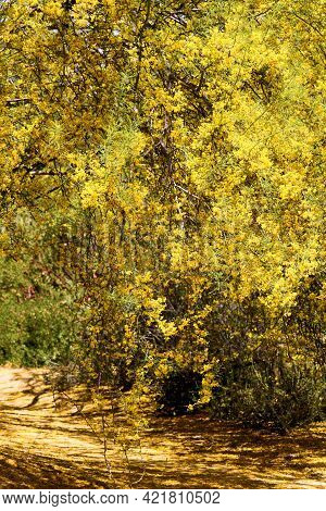 Palo Verde Tree Flower Blossoms Which Is A Native Tree To The Arid Sonoran Desert Taken On An Outdoo