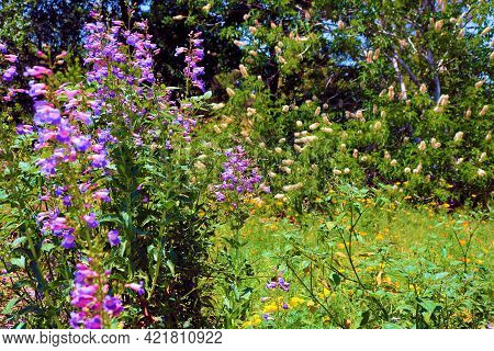 Chaparral Shrubs And Lupine Wildflowers During Spring On The High Desert Plateau Taken At A Chaparra