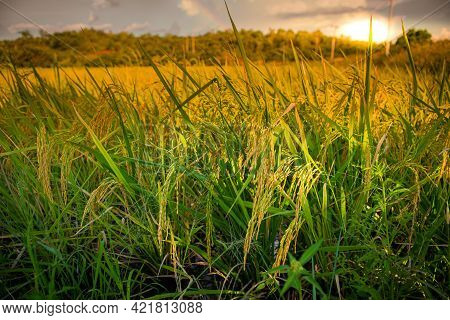 View Of Green Rice Filed With Sunset. Thailand Traditional Rice Farming. Organic Rice Paddy Field.
