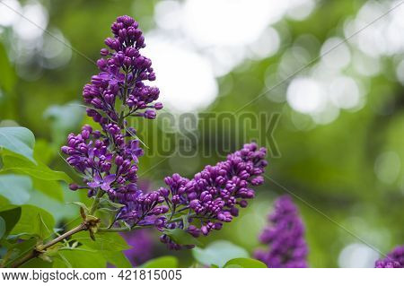 Lilac Blossom Flowers Spring View. Spring Lilac Flowers. Lilac Blooms. A Beautiful Bunch Of Lilac. F