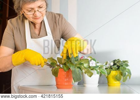 Elderly Woman Caring For Flowers At Home. Senior Woman In Glasses Cutting Off Withered Petals From F