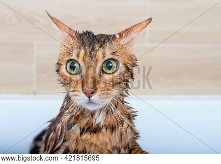 Close-up Of A Sad Wet Bengal Cat After Washing In The Shower