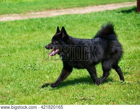 Young Adorable Belgian Shepherd Schipperke Walks On The Green Grass. Sunny Day