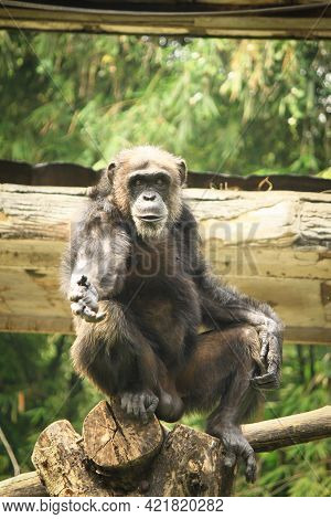 Chimpanzees Are One Of The Most Intelligent Primates And Behave Like Humans