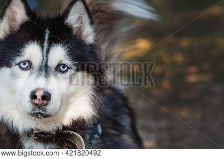 Husky Portrait Of A Dog Of The Husky Breed On A Background Of Nature.siberian Husky Black And White