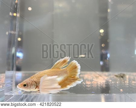Special Light Brown And White Siamese Fighting Fish In The Clear Glass Fish Tank With Bokeh Light Bl