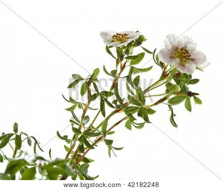 Shrubby Cinquefoil blooming , isolated on white background poster