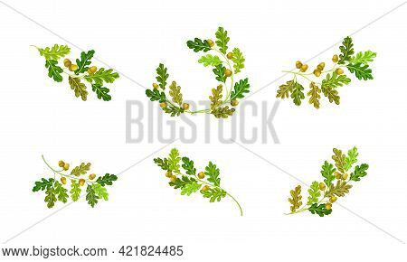 Oak Branches With Green Leaves And Acorns Vector Set