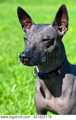 Xoloitzcuintle (mexican Hairless Dog) Portrait Close-up With Black Collar On Bright Green Natural Ba