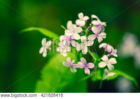 Beautiful Lunaria Rediviva, Perennial Honesty, Species Of Flowering Plant In The Cabbage Family Bras