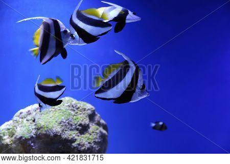 Many Beautiful Moorish Idol Fishes In Clear Aquarium Water