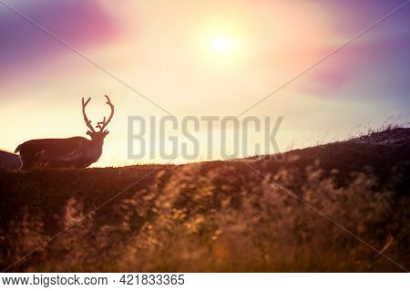 Reindeer Grazing On A Hill In Lapland At Sunset