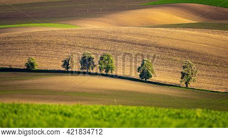 Chestnut Trees In Wavy Agricultural Field Of Moravian Tuscany. Czech Repulbic
