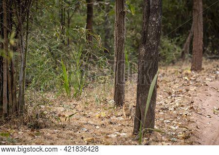Jungle Cat Or Felis Chaus Or Reed Or Swamp Cat Kitten Taking Hide In Natural Background At Bandhavga