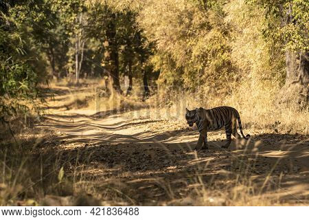 Wild Bengal Tiger Crossing Forest Track Or Road At Bandhavgarh National Park Or Tiger Reserve Madhya