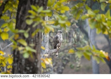 Changeable Or Crested Hawk Eagle Portrait Perched On Tree In Natural Green Background At Bandhavgarh